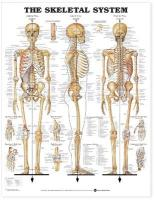 Skeletal System Anatomical Chart illustrated edition